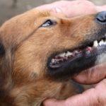 tandenpoetsen bij honden